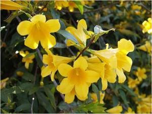 yellow-jessamine