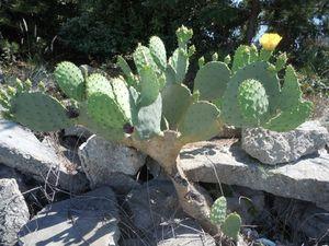 Wrightsville Beach Cactus