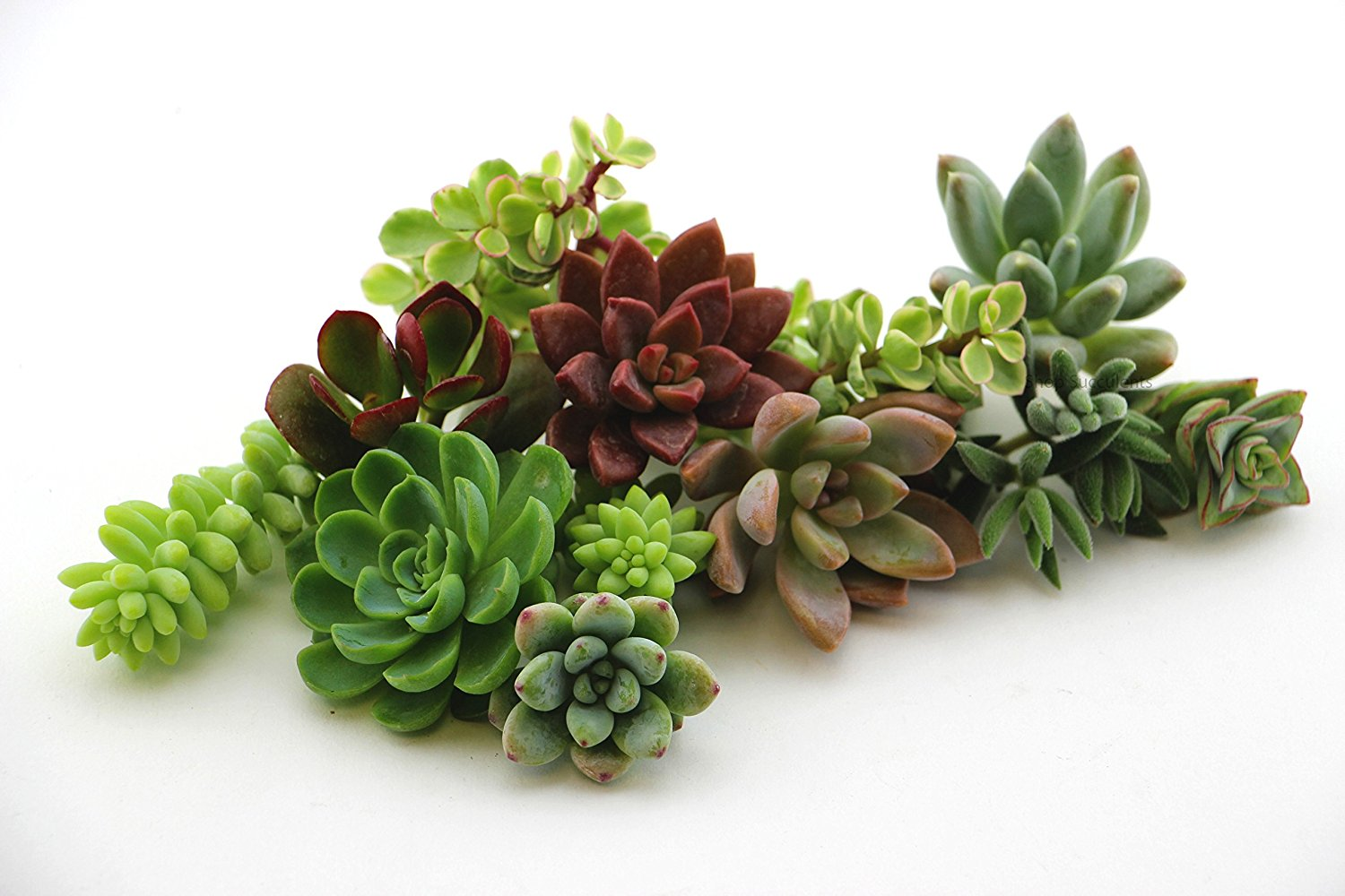 10 Assorted Succulent Cuttings from Shop Succulents